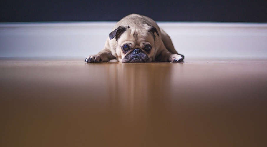 A grumpy dog lying on the floor.